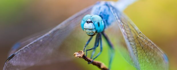 Dragonfly on the River Stort